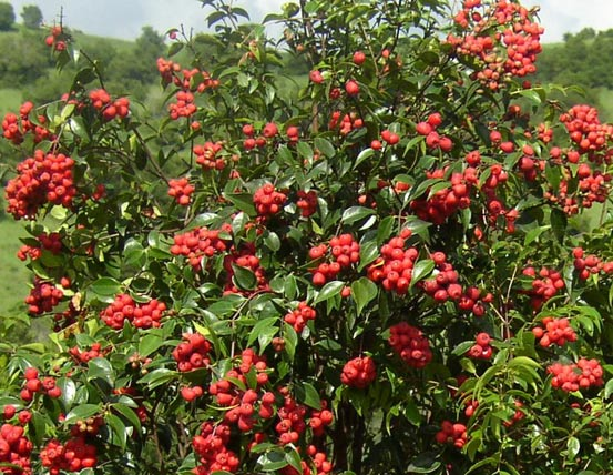 rainberryfruittrees  tbq, Natural flower