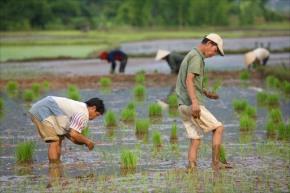 working rice fields